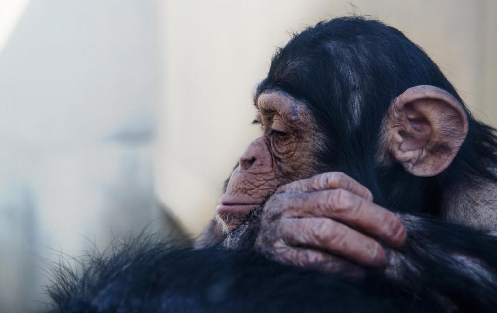 悲しい出来事に遭遇して落胆するチンパンジー