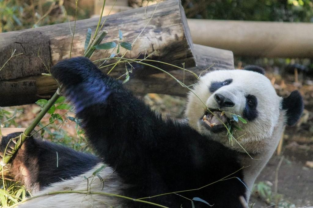 笹の葉をムシャムシャ美味しそうに食べるパンダ